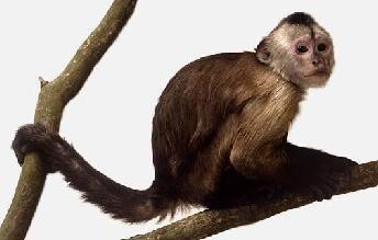 Capuchin Monkeys Food Diet